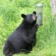 Bears and Bird Feeders
