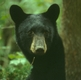 Black Bear Encounters